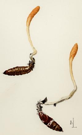 Cordyceps sp.... on unlucky beetle larvae I think