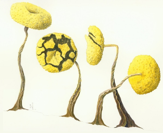 Physarum viride, a slime mold