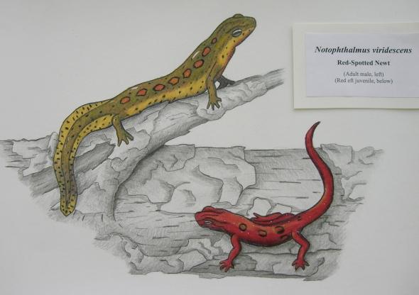 Gavin Lawson's salamanders
