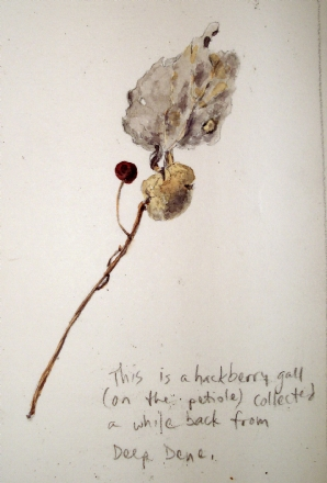 Hackberry petiole gall